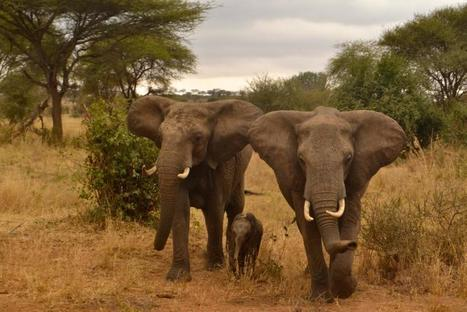 The Global Fight for Tanzania's Elephants | Wildlife Trafficking: Who Does it? Allows it? | Scoop.it