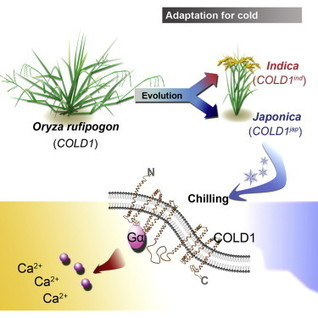 COLD1 Confers Chilling Tolerance in Rice: Cell | Plant Biology Teaching Resources (Higher Education) | Scoop.it