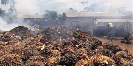 Au Cameroun, un projet géant d'huile de palme fait scandale   développement durable : quel avenir voulons-nous ?   Scoop.it