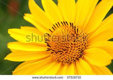 stock-photo-closeup-photo-of-yellow-arnica-flower-in-the-garden-57518710.jpg (450x320 pixels) | El Arnica | Scoop.it