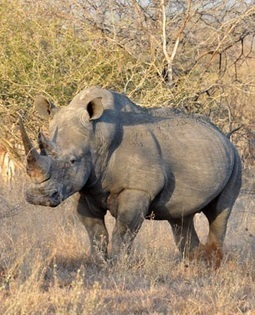 Mozambique, SA drag their feet over rhino protection - News24 | Save our Rhino and all animals...this is what it looks like!!!!! | Scoop.it