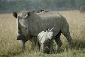 Threatened African Rhinos could find new home in Texas | What's Happening to Africa's Rhino? | Scoop.it