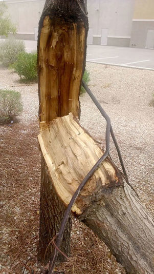 Arizona Gardeners: When to remove trees from the garden or landscape | CALS in the News | Scoop.it