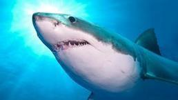Sharks' blood gives them turbo speed | All about water, the oceans, environmental issues | Scoop.it