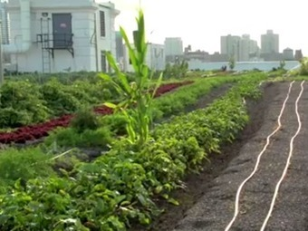 One of the world's largest rooftop farms is in Brooklyn | SFO_Marketing | Scoop.it