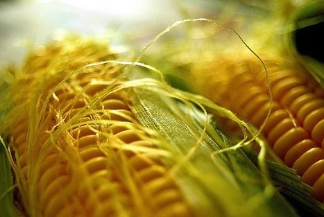 Hungary Destroys All Monsanto GMO Maize Fields | @FoodMeditations Time | Scoop.it