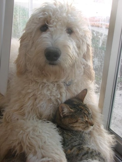 Reasons Why You Should Never Own Goldendoodles<br/>6. They don&rsquo;t like cats&hellip; | Dog Pictures - Pindoggy | Scoop.it