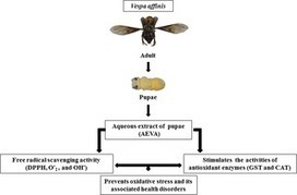 Antioxidant Potential of  Vespa affinis  L., a Traditional Edible Insect Species of North East India | Entomophagy, insects for feed and pharma | Scoop.it