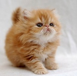 Top 10 Cutest Cat Breeds That Will Make You Smile - Easyday | Cats & Teapots | Scoop.it