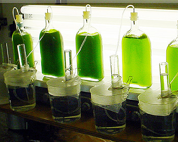 Algae deliver hydrogen at a 5 times higher efficiency | Amazing Science | Scoop.it