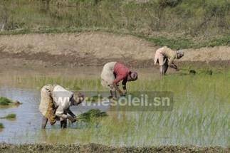 120 milliards de FCfa mobilisés pour développer la riziculture au nord du Sénégal | Questions de développement ... | Scoop.it