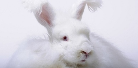 En le domestiquant, l'homme a transformé l'ADN du lapin | Aux origines | Scoop.it
