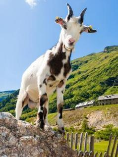 "Climate Change News: ""Shrinking goats"" another indicator that climate change affects animal size 
