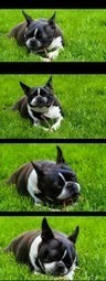 Boston Terrier Dogs Love Sticks! - Uma from Mississauga, Canada (Photo) | Boston Terrier Dogs | Scoop.it