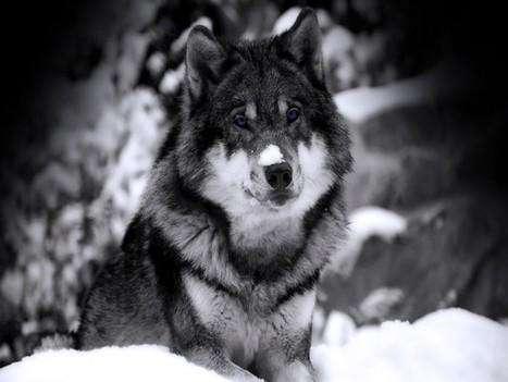 25+ Best Pictures Of Wolves | Envirocivl | Scoop.it