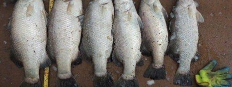 Rods Barra Bragging Rights   Earthan Group Pty Ltd   Integrated Aquaculture   Scoop.it