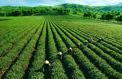Vietnam's tea export prices half of world's average - News VietNamNet   Archaeo   Scoop.it