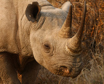 Rhino CSI, a South African reality | What's Happening to Africa's Rhino? | Scoop.it