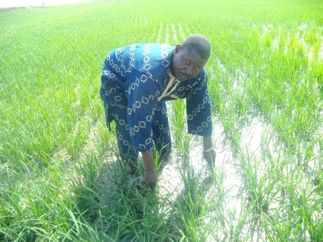 MALI: SRI - Giving new life to rice production by closing productivity gap in Mali | West Africa Agricultural Productivity Program | Selected News from SRI-Rice: April 2016 **sririce.org | Scoop.it