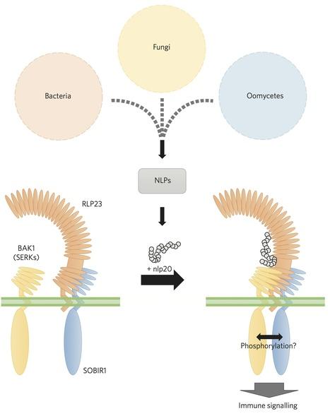 Nature Plants: Immunity: One receptor, many pathogens (2015) | plant immunity | Scoop.it