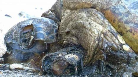 Braconnage : un cimetière de tortues marines retrouvé à Mayotte | Biodiversité & Relations Homme - Nature - Environnement : Un Scoop.it du Muséum de Toulouse | Scoop.it