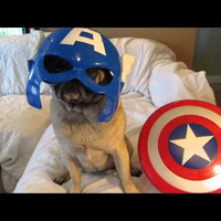 I Would Watch An Entire Movie Of The Avenger Pugs | Dogs Animals | Scoop.it
