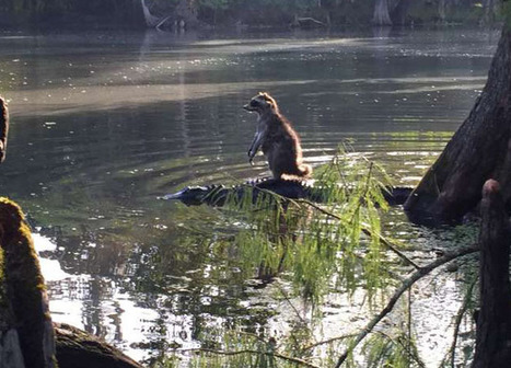Raccoon Photographed Riding on an Alligator's Back | xposing world of Photography & Design | Scoop.it