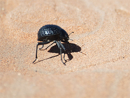 Solving The World's Water Crisis With A Beetle? | Biomimicry | Scoop.it