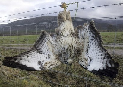 Illegal bird deaths continue to rise in UK, RSPB report shows | Nature | Scoop.it