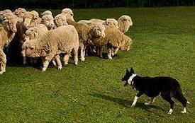 Do herding dogs automatically know how to herd? | Working Dogs | Scoop.it
