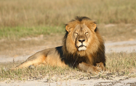#moron #Walker #Minnesota #Dentist Breaks Silence To Defend Killing #Cecil The #Lion   Messenger for mother Earth   Scoop.it
