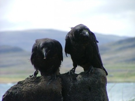 Raven Empathy « Life  « Science Today | animals on our planet | Scoop.it