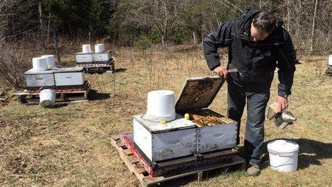 Vols et pénurie d'abeilles: la pollinisation des champs est de plus en plus difficile au Québec   Variétés entomologiques   Scoop.it