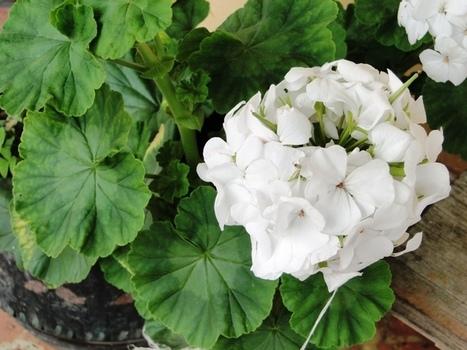 Bonitas y saludables: 8 flores con beneficios medicinales - MDE - Ciudad inteligente | I didn't know it was impossible.. and I did it :-) - No sabia que era imposible.. y lo hice :-) | Scoop.it