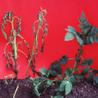 Potatoes, breeding and genetics