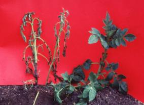 Research underway to unravel causes of potato blackleg     Potatoes, breeding and genetics   Scoop.it