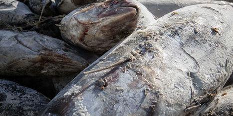La population de thons albacores en danger | Chronique d'un pays où il ne se passe rien... ou presque ! | Scoop.it