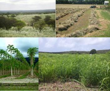 Climate change adaptation and lignocellulosic bioenergy crops | Practical Sustainable Business | Scoop.it