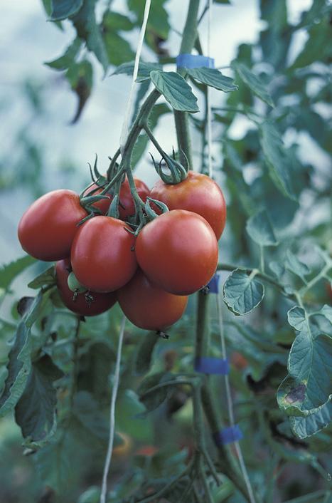 Fruit and Vegetable Weekly Crop Update | Vegetable Gardening Resources | Scoop.it
