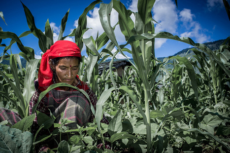 Bangladesh: Maize farming makes Rajshahi growers happy | MAIZE | Scoop.it