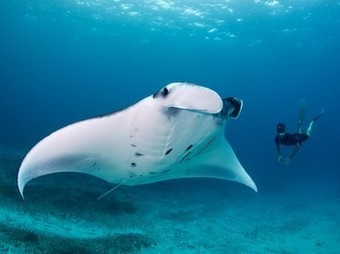 Underwater Picture -- Manta Ray Photo -- National Geographic Photo of the Day   interests   Scoop.it