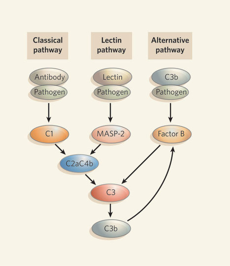 Innate immunity: The inside story on complement activation | Allergy and Immunology | Scoop.it