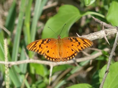 Papillons de Cuba - Lépidoptères cubains - Papillon - Butterfly - Butterflies - Insectes de Cuba   Fauna Free Pics - Public Domain - Photos gratuites d'animaux   Scoop.it