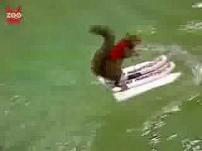 Waterskiing Squirrel   spouses helping spouses   Scoop.it