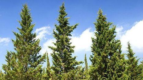 Resuelto el enigma de los cipreses que resisten incendios | Actualidad forestal cerca de ti | Scoop.it