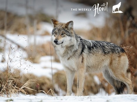 Eight Wild Facts About the Rare and Elusive Lobo | Oceans and Wildlife | Scoop.it