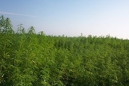 Industrial Hemp: A Win-Win For The Economy And The Environment | Cânhamo Industrial | Scoop.it