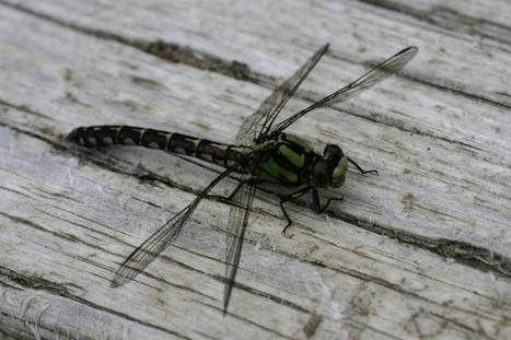 Libellule - Libellule verte : Ophiogomphe - Ophiogomphus   Fauna Free Pics - Public Domain - Photos gratuites d'animaux   Scoop.it