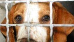 Green Hill: salvati 30 cuccioli di Beagle dal lager di Montichiari | The Matteo Rossini Post | Scoop.it