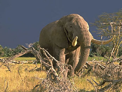 Ivory poaching avalanche headed for SA | Wildlife Trafficking: Who Does it? Allows it? | Scoop.it